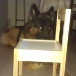 Det er helt umulig å stikke en schæfer under en stol..