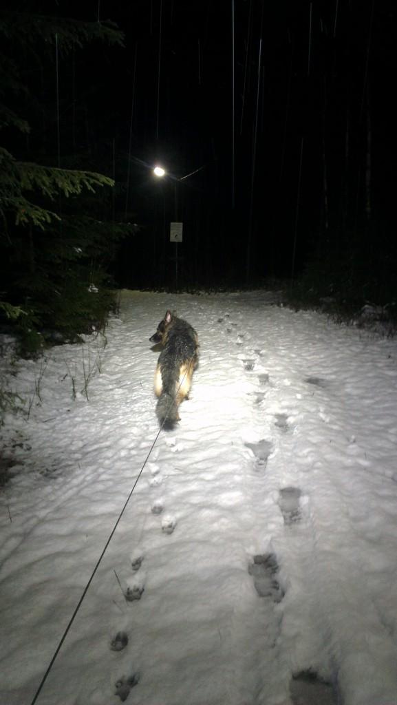 Schæfer i snø